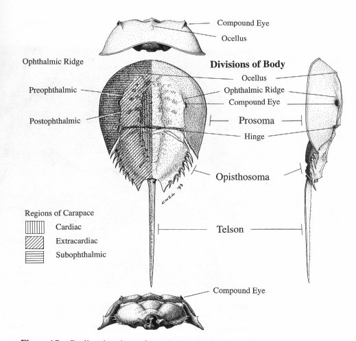 Limulus Labeled