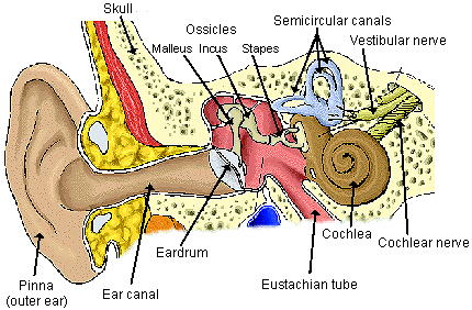 diagram of the ear, Cephalic Vein