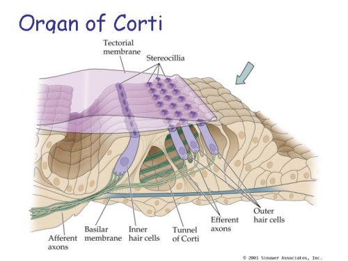 Foundations   Histology Epithelia and Skin together with Reading Mollusks together with 10068240 together with 8049460 moreover Fasciola General Characters Body Wall Digestive Excretory And Nervous System. on cilia diagram labeled
