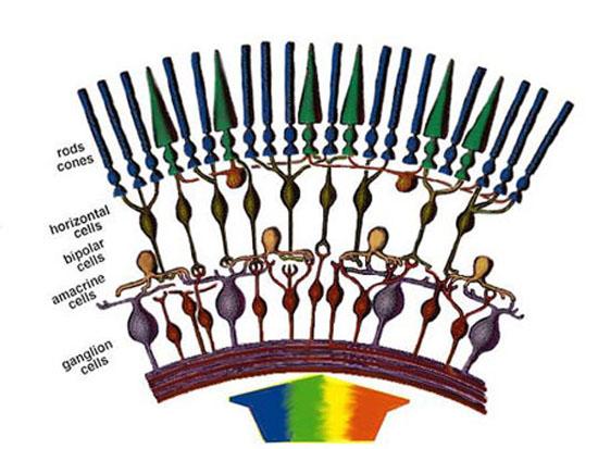 Simple Diagram of Retina